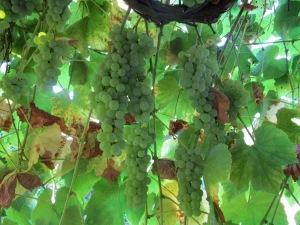 Grape arbour