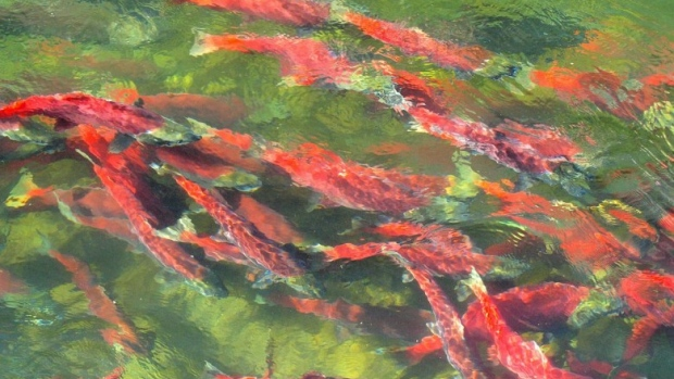 adams-river-sockeye